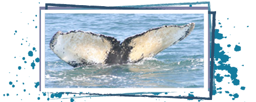 Adopt a humpback whale - flyer
