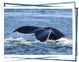 Whale sightings in the Bay of Fundy