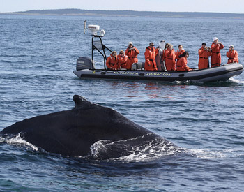 Enjoy an exciting ride to watch the whales near Brier Island