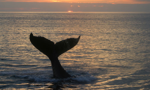 Sunset with a whale tail in the bay of Fundy