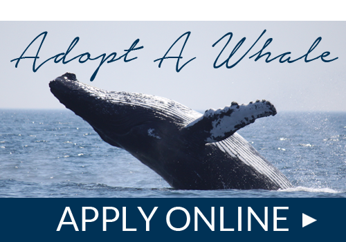 Adopt a humpback whale in Nova Scotia