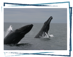 Two humpback whales cresting