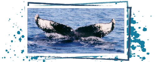 Adopt a humpback whale Doublet