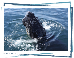 Humpback Whale at Brier Island