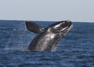 right whale breach
