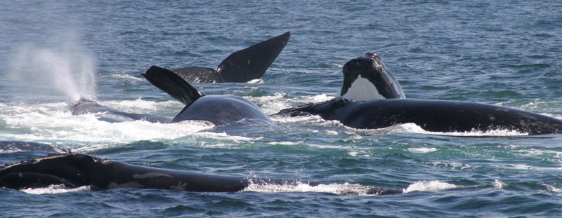 Whale Watching Packages on the Bay of Fundy, Nova Scotia